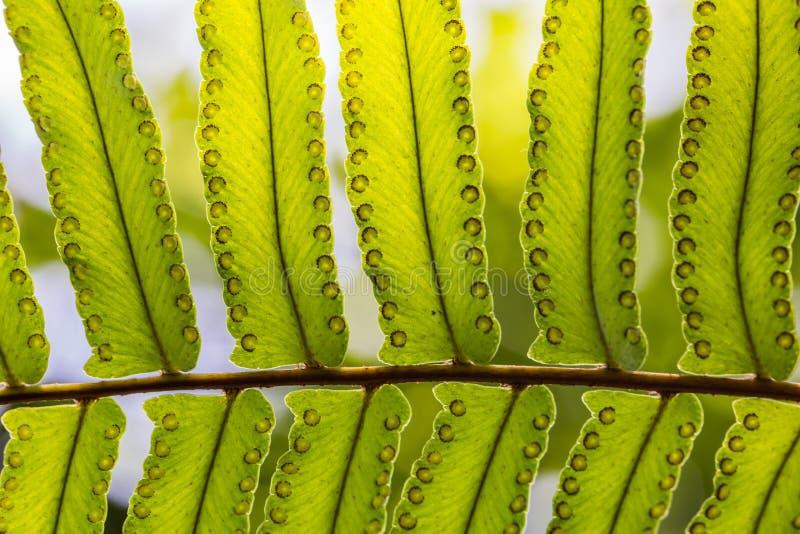 Όμορφη σύσταση φτερών, ηλιόλουστος καιρός Κλάδος της πράσινης μακροεντολής φύλλων φτερών ξιφών στοκ φωτογραφίες