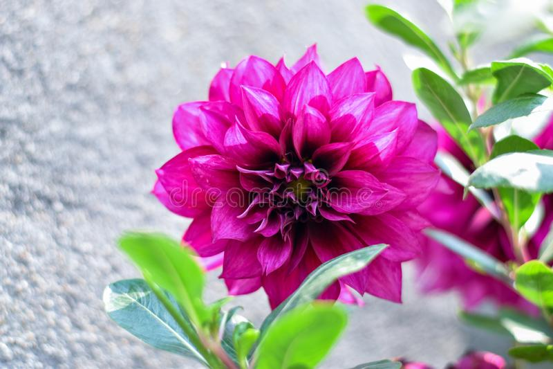 Όμορφη ταπετσαρία λουλουδιών dalhia στοκ εικόνα