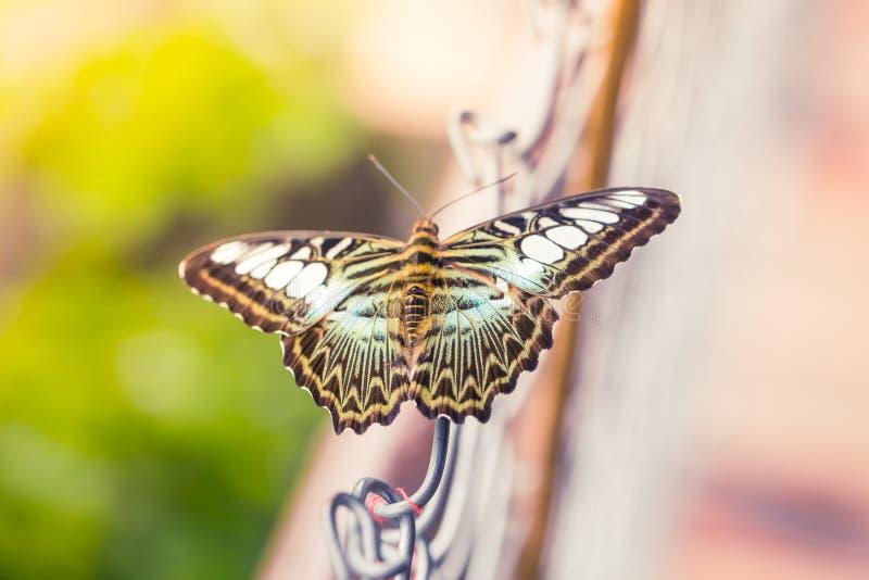 Όμορφη ταϊλανδική πεταλούδα τιγρών στοκ φωτογραφίες