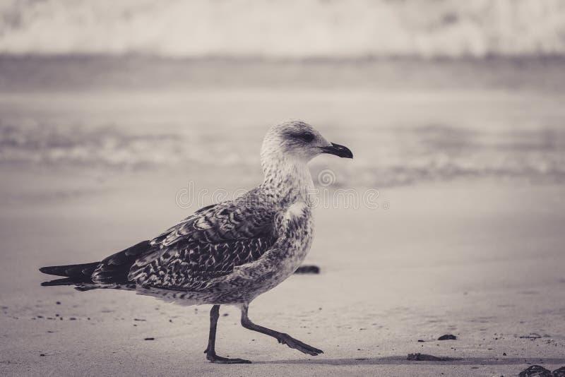 Όμορφη τονισμένη εικόνα ενός νεοσσού γλάρων που περπατά στην παραλία στοκ φωτογραφίες με δικαίωμα ελεύθερης χρήσης
