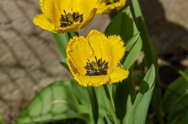Όμορφη τουλίπα κίτρινων που αυξάνεται στον κήπο στοκ εικόνες με δικαίωμα ελεύθερης χρήσης