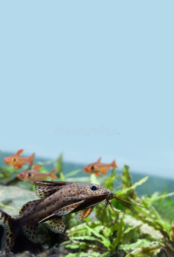 Όμορφη του γλυκού νερού σκηνή ζωής δεξαμενών γατόψαρων κολύμβησης ακόμα Τα nigriventris Synodontis τα ανάποδα ψάρια με στοκ φωτογραφία με δικαίωμα ελεύθερης χρήσης