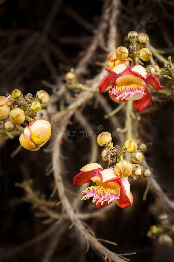 Όμορφη τροπική ανάπτυξη λουλουδιών δέντρων σφαιρών tCannon στο τροπικό δάσος στοκ φωτογραφία