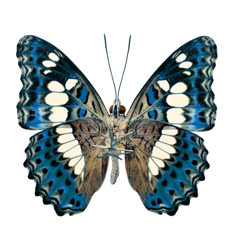 Όμορφη τυρκουάζ μπλε πεταλούδα, κοινός διοικητής (moduza υπέρ στοκ φωτογραφία