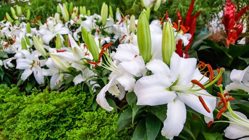 Όμορφη των άσπρων ορχιδεών είναι η άνθιση στο φυσικό κήπο στο φως της ημέρας και το καθαρό αέρα στοκ εικόνα
