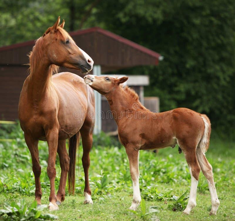 Όμορφη φοράδα με foal στοκ φωτογραφία