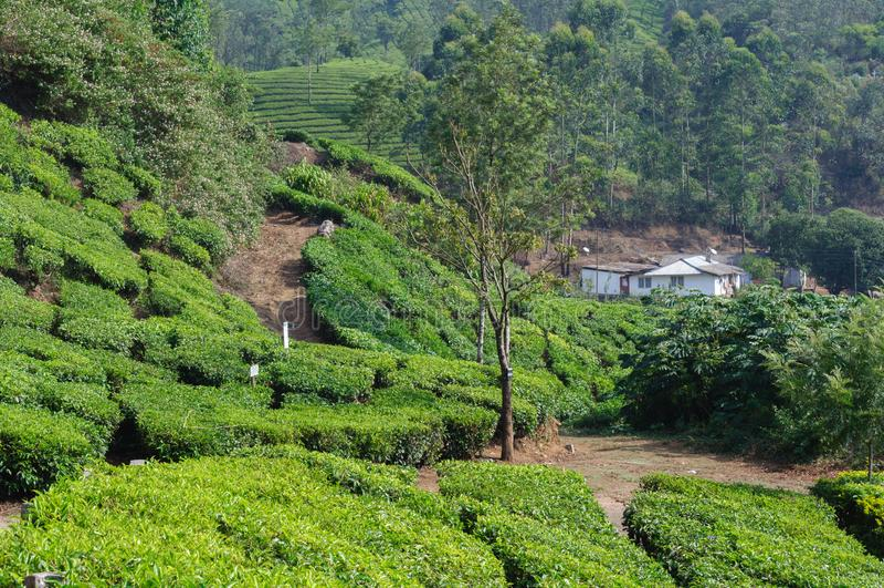 Όμορφη φυσική άποψη του σπιτιού στον τομέα τσαγιού στο βουνό κοντά σε Munnar, Κεράλα, Ινδία στοκ εικόνες με δικαίωμα ελεύθερης χρήσης