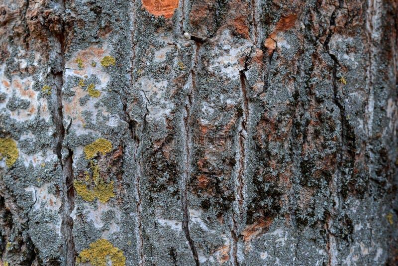 Όμορφη φυσική σύσταση της ξύλινης χρήσης σανίδων φλοιών ως ξύλινο κατασκευασμένο φύσης στοκ φωτογραφία με δικαίωμα ελεύθερης χρήσης