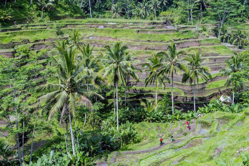Όμορφη φυτεία τομέων πεζουλιών ορυζώνα σε Tegallalang κατά τη διάρκεια του νωρίς το απόγευμα στοκ φωτογραφία
