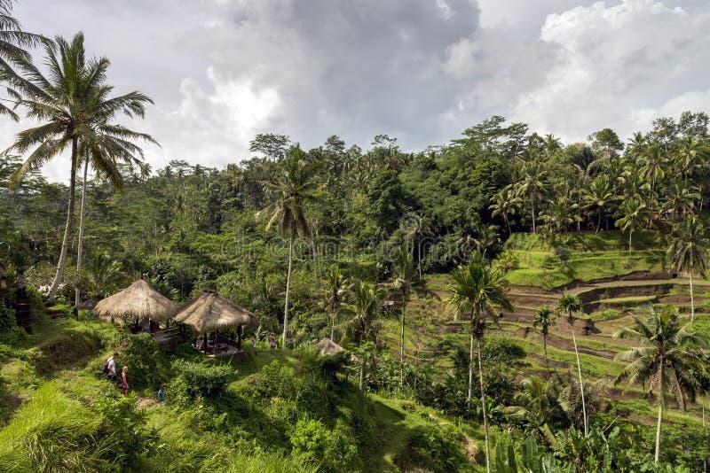 Όμορφη φυτεία τομέων πεζουλιών ορυζώνα σε Tegallalang κατά τη διάρκεια του νωρίς το απόγευμα στοκ φωτογραφίες