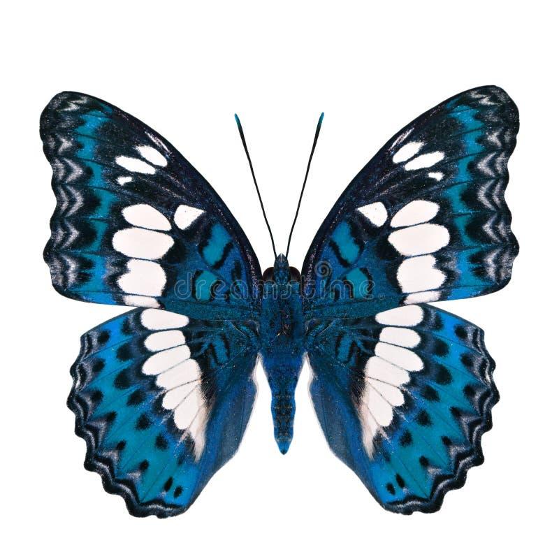 Όμορφη φωτεινή μπλε πεταλούδα, κοινός διοικητής (procris moduza) στα μέρη φτερών στο φανταχτερό σχεδιάγραμμα χρώματος που απομονώ στοκ φωτογραφία με δικαίωμα ελεύθερης χρήσης