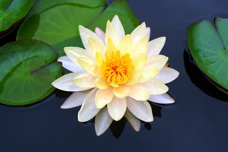 Όμορφη φωτογραφία του ανθίζοντας άσπρου λουλουδιού Waterlily στοκ φωτογραφία με δικαίωμα ελεύθερης χρήσης