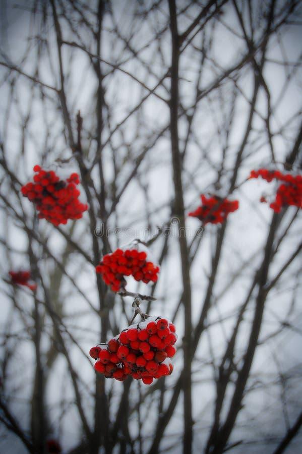 Όμορφη χειμερινή συγκεκριμένη φωτογραφία Παγωμένο rowan-berry στο wintertime Φωτογραφία με το όμορφο δάσος στο υπόβαθρο και τα με στοκ εικόνες