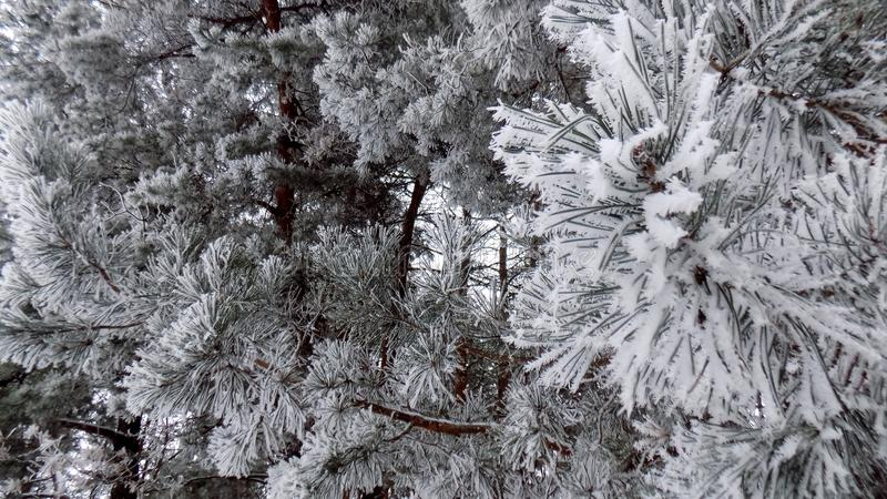 Όμορφη χειμερινή landscape Αφηρημένο δασικό υπόβαθρο πεύκων Ταπετσαρία κλάδων πεύκων στοκ εικόνα με δικαίωμα ελεύθερης χρήσης