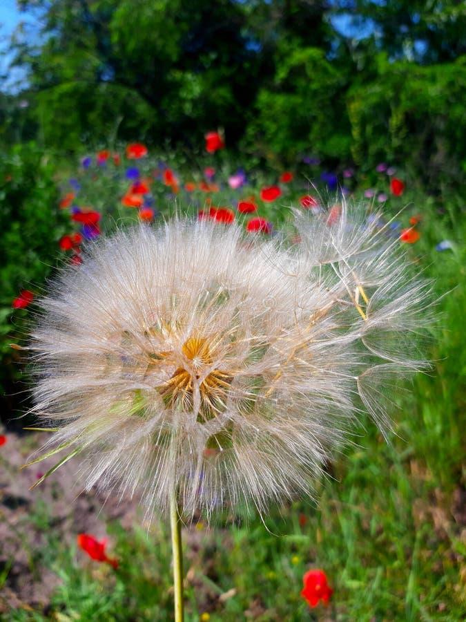 Όμορφη, χνουδωτή πικραλίδα με τους πετώντας σπόρους κάτω από έναν φωτεινό ήλιο μια θερινή ημέρα στοκ εικόνες με δικαίωμα ελεύθερης χρήσης