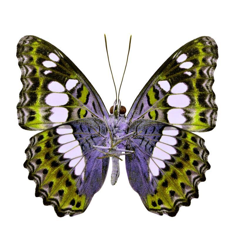 Όμορφη χρυσή πεταλούδα, τα κοινά Η.Ε διοικητών (procris moduza) στοκ εικόνα με δικαίωμα ελεύθερης χρήσης