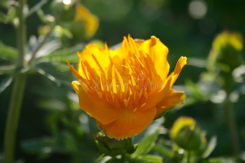 Όμορφη chinensis, χρυσή βασίλισσα trollius, λουλούδι σφαιρών στοκ εικόνα