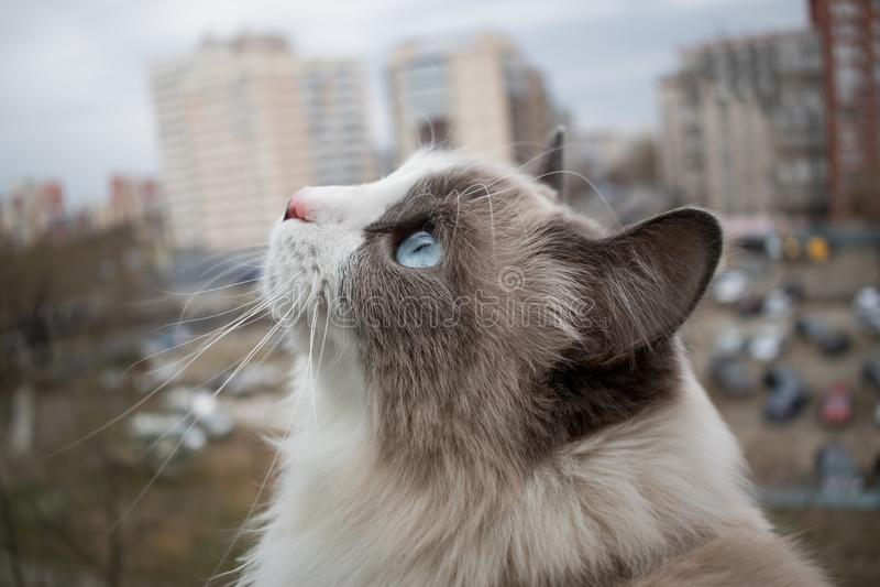 Όμορφη thoroughbred γάτα με τα όμορφα μπλε μάτια στοκ φωτογραφίες με δικαίωμα ελεύθερης χρήσης