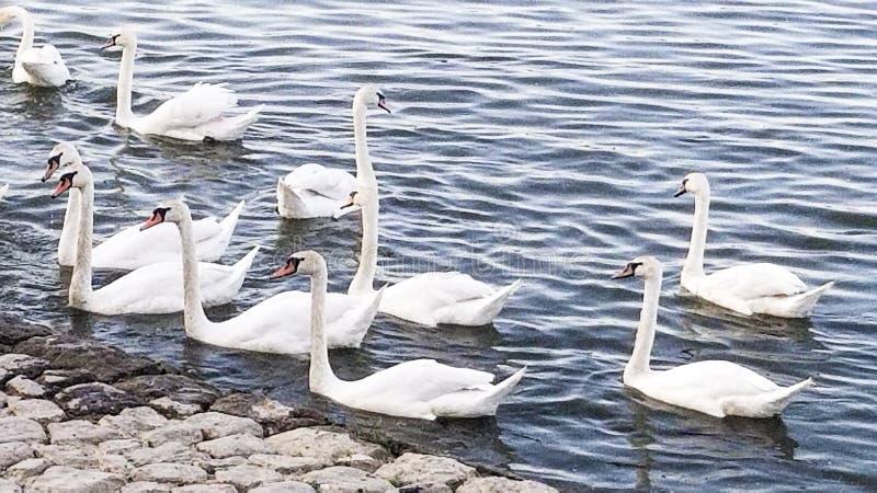Όμορφοι άσπροι κύκνοι στον ποταμό Δούναβη στοκ φωτογραφίες με δικαίωμα ελεύθερης χρήσης