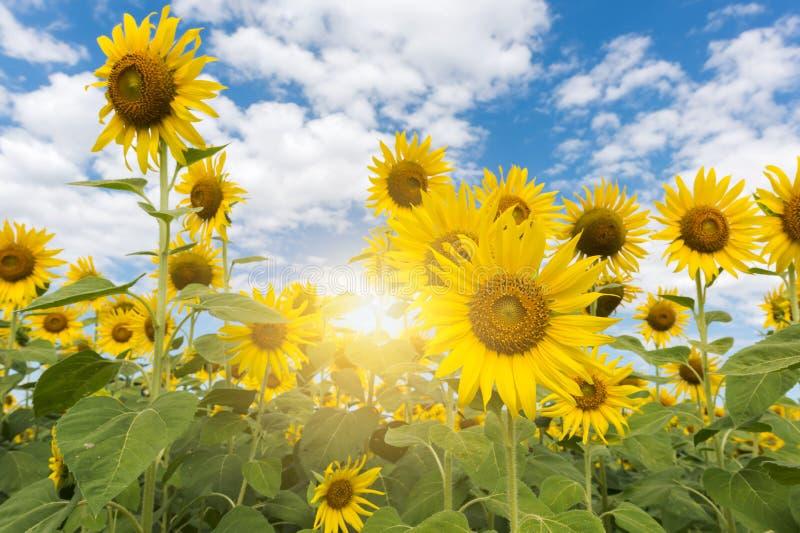 Όμορφοι ανθίζοντας τομέας και μπλε ουρανός ηλίανθων στοκ φωτογραφία