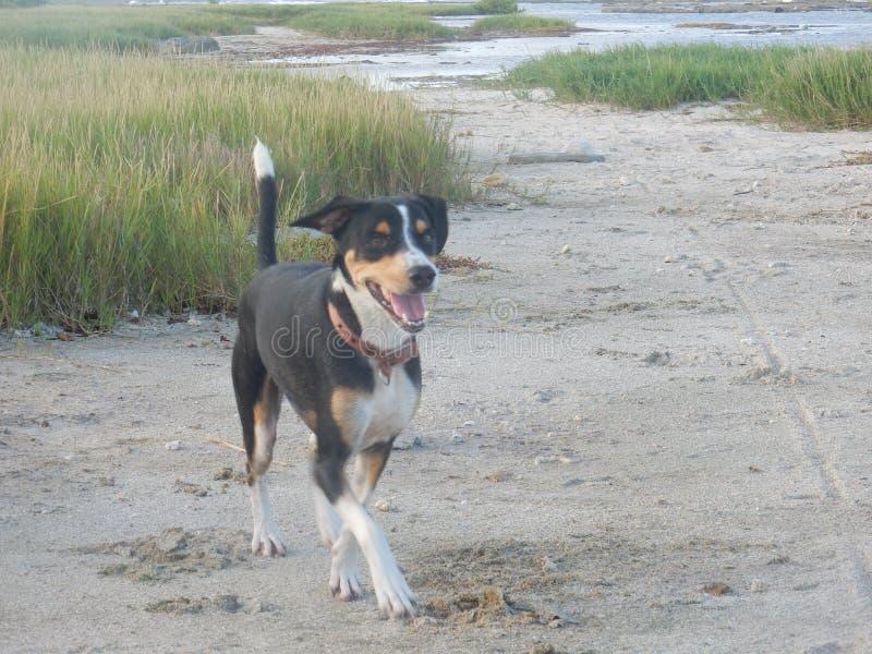 Όμορφοι διασχισμένοι σκυλί περίπατοι λαγωνικών ευτυχείς στην παραλία στοκ φωτογραφίες