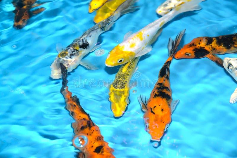 Όμορφοι και ζωηρόχρωμοι φανταχτεροί κυπρίνοι ψαριών στην πλαστική λίμνη στοκ φωτογραφίες