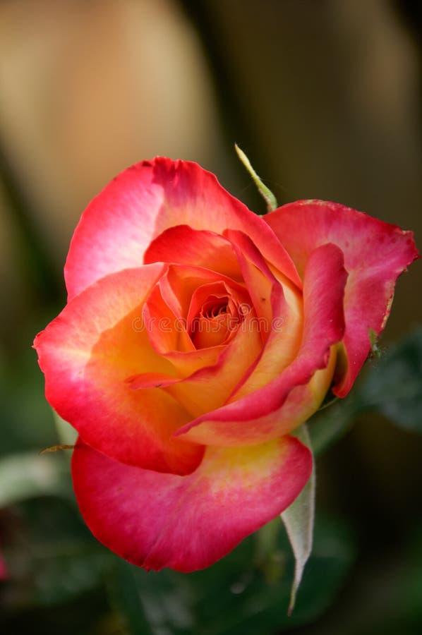 Όμορφοι κόκκινος και κίτρινος αυξήθηκε στοκ φωτογραφία με δικαίωμα ελεύθερης χρήσης