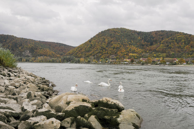 Όμορφοι κύκνοι που κολυμπούν στην όχθη ποταμού Δούναβη το φθινόπωρο γύρω από την πόλη Durnstein, Αυστρία στοκ φωτογραφία με δικαίωμα ελεύθερης χρήσης