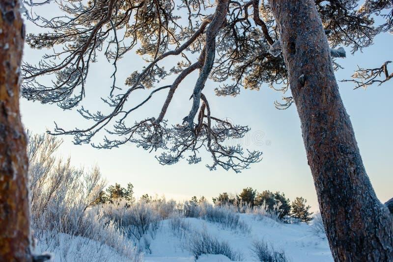 Όμορφοι παλαιοί κατάκλιση παγωμένοι κλάδοι και κορμός πεύκων στη χειμερινή παγωμένη ημέρα στοκ φωτογραφία με δικαίωμα ελεύθερης χρήσης