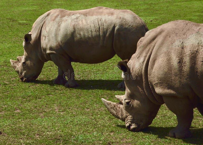 Όμορφοι ρινόκεροι που ζουν στη φύση στοκ εικόνα