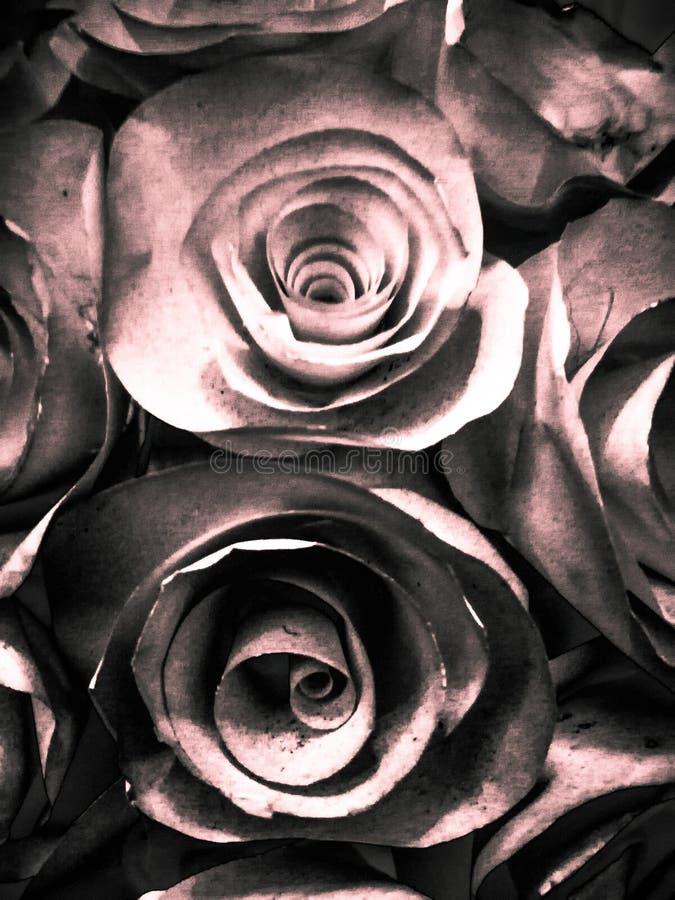 Όμορφοι ρόδινος άσπρος και μαύρος αυξήθηκε υπόβαθρο και σύσταση απεικόνισης λουλουδιών στον κήπο απεικόνιση αποθεμάτων