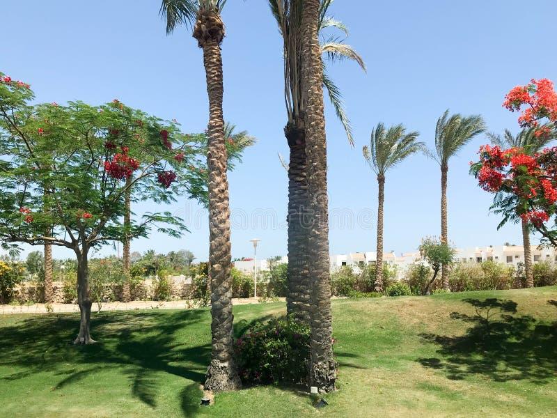 Όμορφοι τροπικοί φοίνικες και delonix δέντρα με τα κόκκινα λουλούδια υπαίθρια στις διακοπές, τροπικό, νότιο, θερμό θέρετρο unde στοκ εικόνες με δικαίωμα ελεύθερης χρήσης
