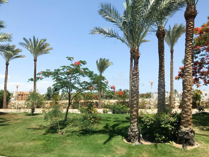 Όμορφοι τροπικοί φοίνικες και delonix δέντρα με τα κόκκινα λουλούδια υπαίθρια στις διακοπές, τροπικό, νότιο, θερμό θέρετρο unde στοκ φωτογραφία με δικαίωμα ελεύθερης χρήσης