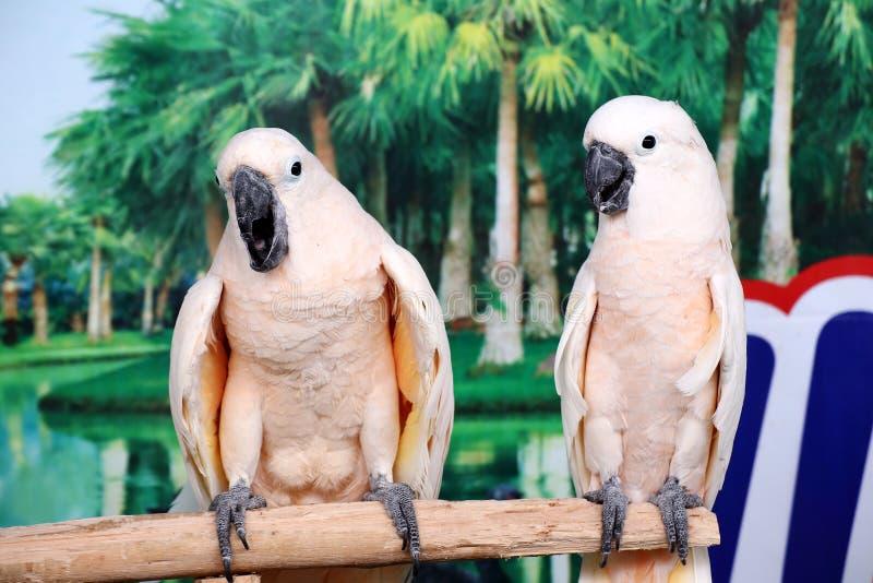 Όμορφοι δύο άσπροι παπαγάλοι στοκ εικόνα