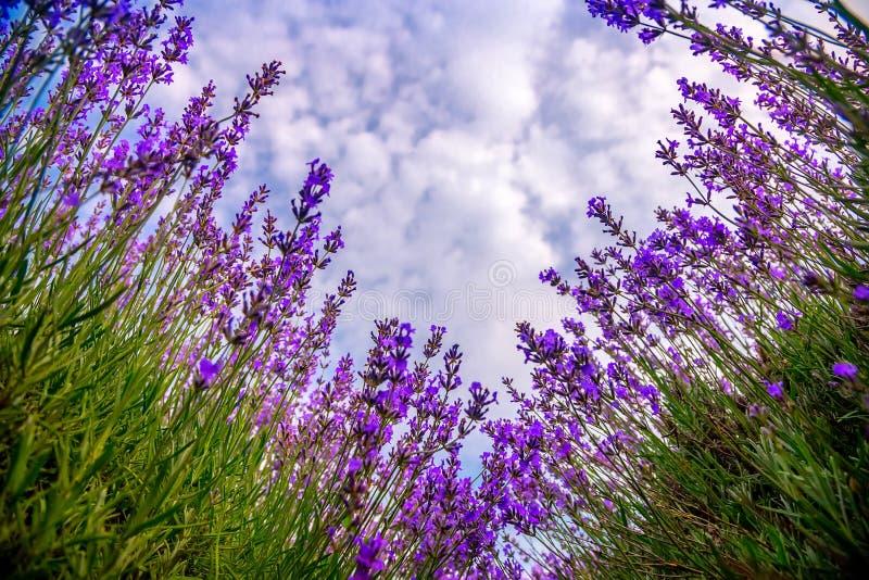 Όμορφοι lavender τομείς μια ηλιόλουστη ημέρα lavender ανθίζοντας scented λουλούδια Μολδαβία στοκ φωτογραφία με δικαίωμα ελεύθερης χρήσης