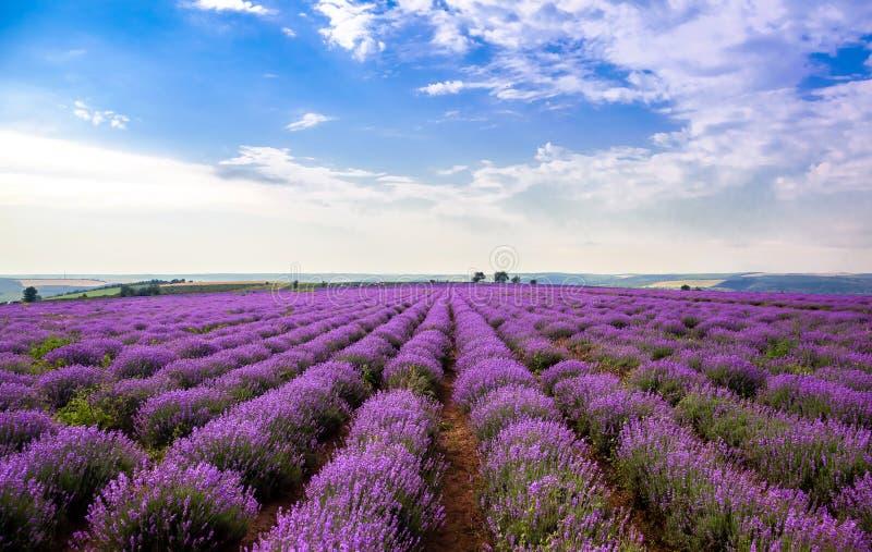 Όμορφοι lavender τομείς μια ηλιόλουστη ημέρα lavender ανθίζοντας scented λουλούδια Τομέας ενάντια στον ουρανό Μολδαβία στοκ φωτογραφία