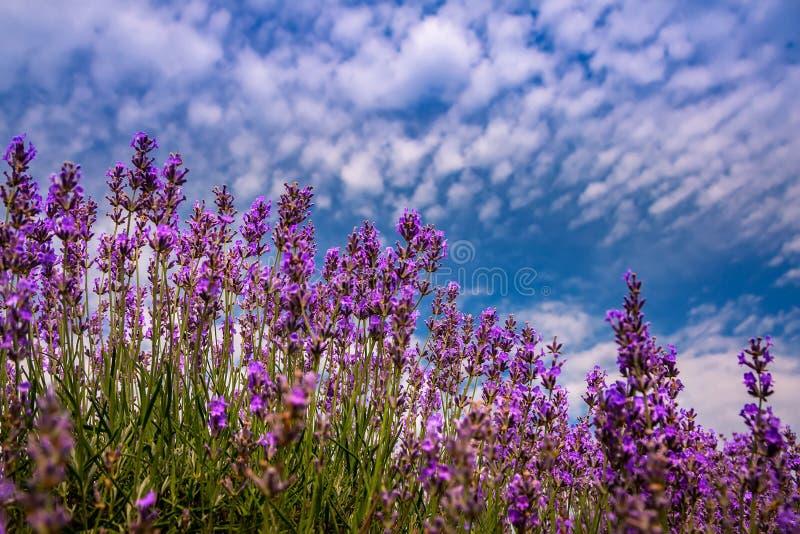 Όμορφοι lavender τομείς μια ηλιόλουστη ημέρα Μολδαβία στοκ εικόνα