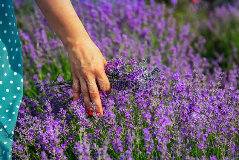 Όμορφοι lavender τομείς μια ηλιόλουστη ημέρα Το κορίτσι την οδηγεί παραδίδει lavender Μολδαβία στοκ εικόνα με δικαίωμα ελεύθερης χρήσης