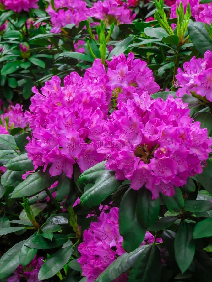 Όμορφοι rhododendron θάμνοι που σκορπίζονται με τα όμορφα λουλούδια στοκ εικόνες