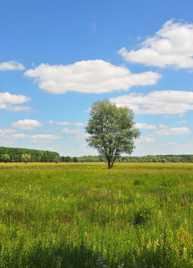 Όμορφος άγριος τομέας λιβαδιών με το μόνο δέντρο το καλοκαίρι στοκ φωτογραφία