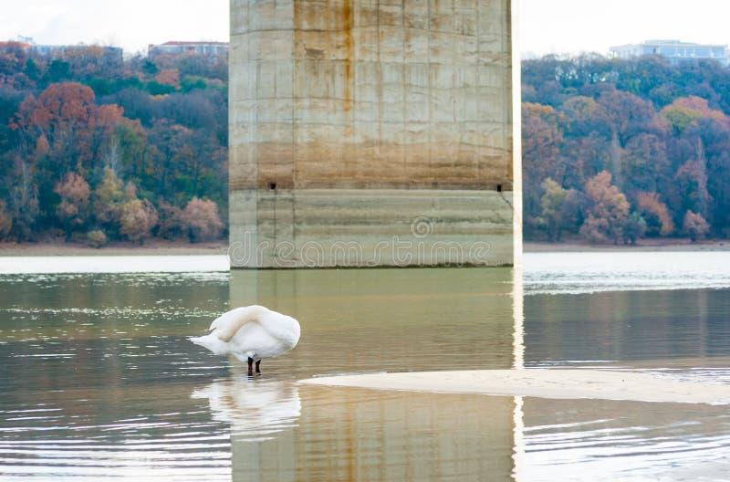 Όμορφος άσπρος βουβόκυκνος στη φύση που καθαρίζει τα φτερά του που στέκονται στο νερό του ποταμού Δούναβη με το κεφάλι του κάτω α στοκ φωτογραφία με δικαίωμα ελεύθερης χρήσης