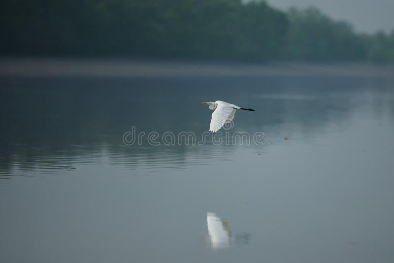 Όμορφος άσπρος ερωδιός στην επιφύλαξη τιγρών Sundarbans στην Ινδία στοκ φωτογραφίες με δικαίωμα ελεύθερης χρήσης