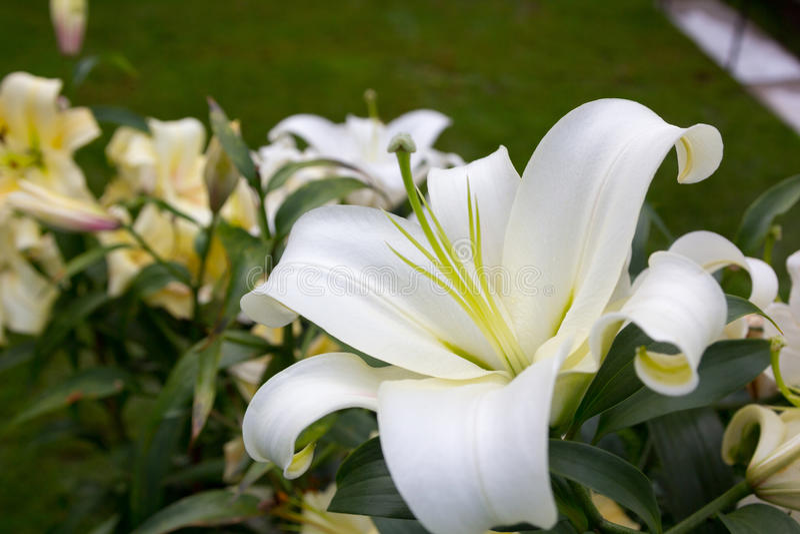 Όμορφος άσπρος κρίνος στον κήπο στο υπόβαθρο άλλων κρίνων στοκ φωτογραφίες με δικαίωμα ελεύθερης χρήσης