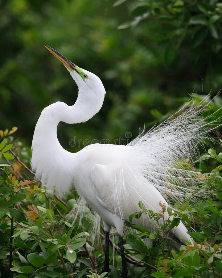 Όμορφος άσπρος τσικνιάς που αναπαράγει την άνοιξη το φτέρωμα στοκ εικόνες