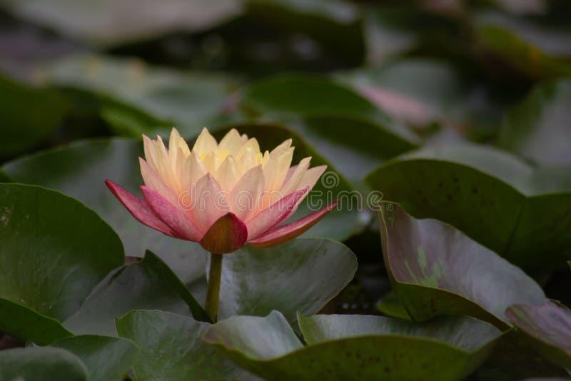 Όμορφος ένας κίτρινος και ρόδινος waterlily ή λουλούδι λωτού στοκ εικόνα με δικαίωμα ελεύθερης χρήσης