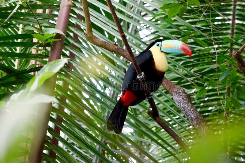 Όμορφος ένας toucan στοκ εικόνα με δικαίωμα ελεύθερης χρήσης