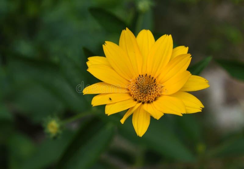Όμορφος ανθίζοντας κίτρινος ψεύτικος ηλίανθος σε έναν κήπο στοκ φωτογραφία