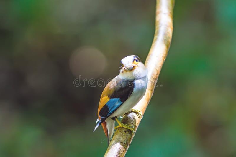Όμορφος ασημένιος-το πουλί Broadbill (lunatus Serilophus) στοκ εικόνες