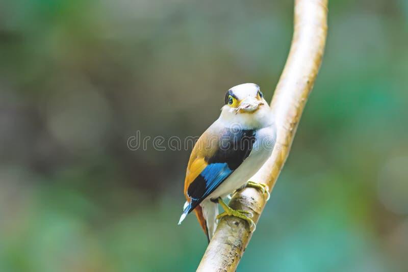 Όμορφος ασημένιος-το πουλί Broadbill (lunatus Serilophus) στοκ φωτογραφία
