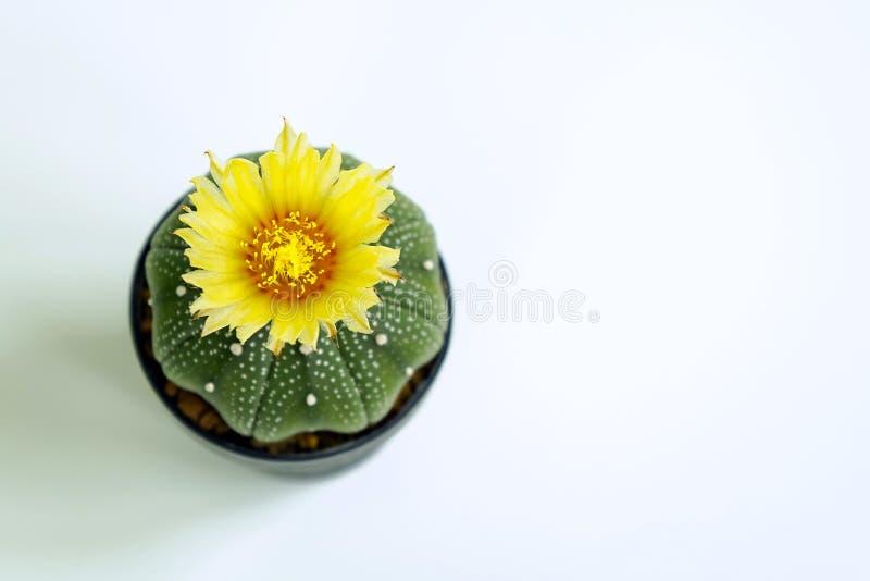 Όμορφος ασπόνδυλος κάκτος με το κίτρινο λουλούδι στο μαύρο δοχείο που απομονώνεται στο άσπρο υπόβαθρο στοκ εικόνα